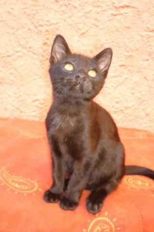 Ebène, chaton Gouttière
