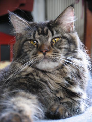 Ebony, chat Maine Coon