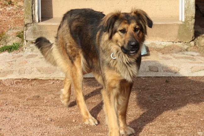 Eclypse, chien Berger allemand