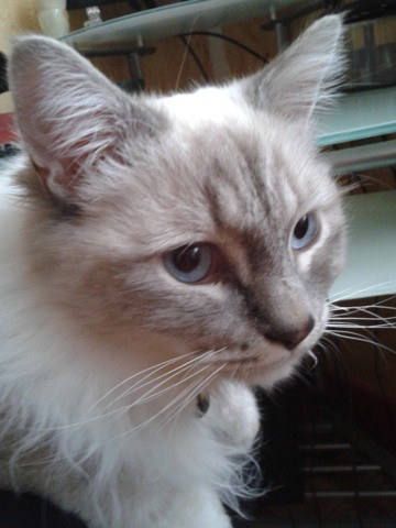 Eden, chat Birman