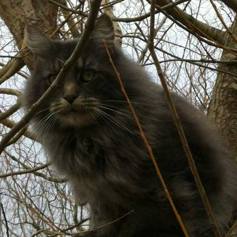 Edison, chat Maine Coon