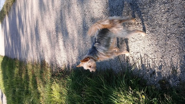 Eedeel, chien Yorkshire Terrier