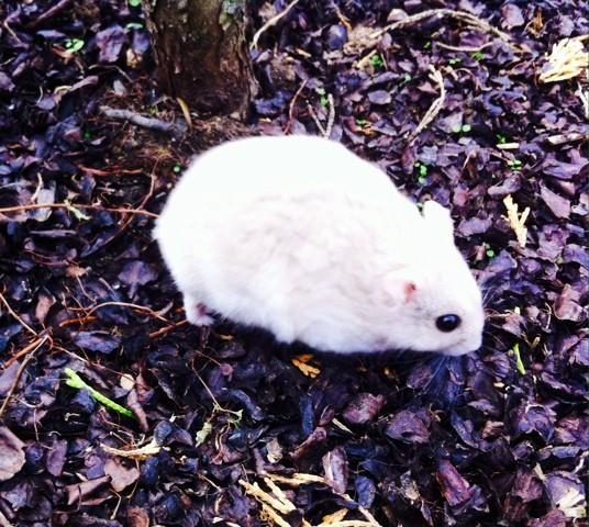 Einsten, rongeur Hamster