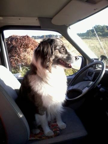 Elby, chien Berger australien
