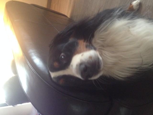 Elcky, chien Bouvier bernois