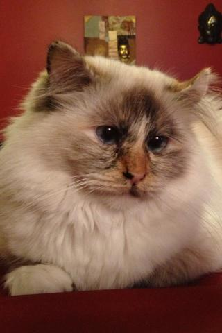 Elea, chat Birman