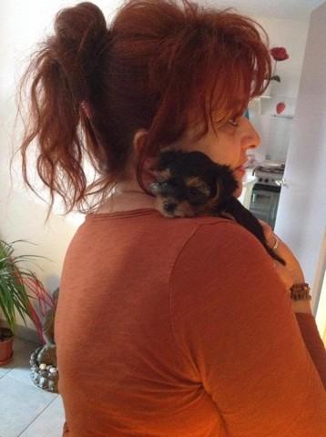 Elfye, chien Yorkshire Terrier