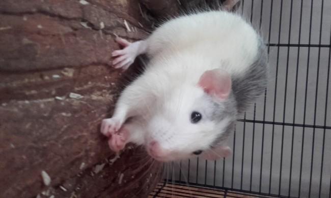 Elios, rongeur Rat