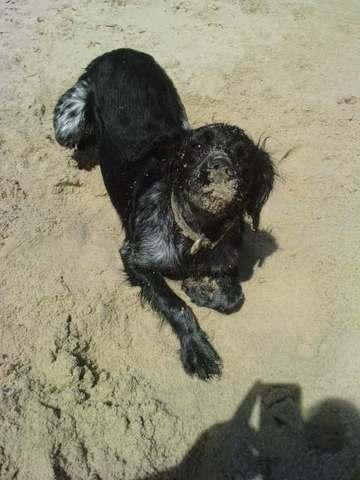Elka, chien Épagneul breton