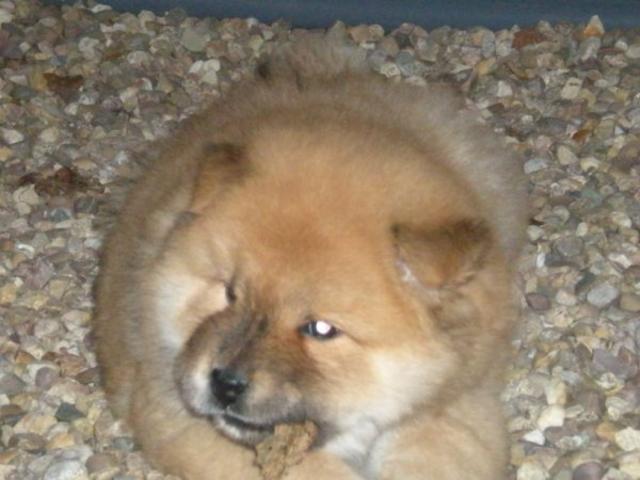 Elouna, chien Chow-Chow
