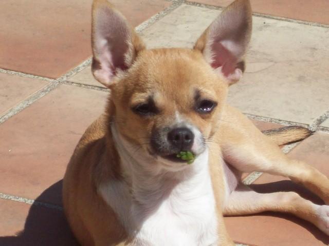 Elya, chien Chihuahua