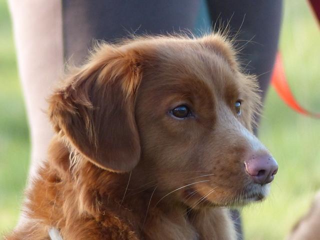 Emmington Of Clan Buchanan, chien Retriever de la Nouvelle-Écosse
