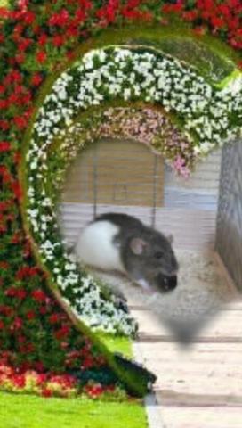 Emy Décédée, rongeur Rat