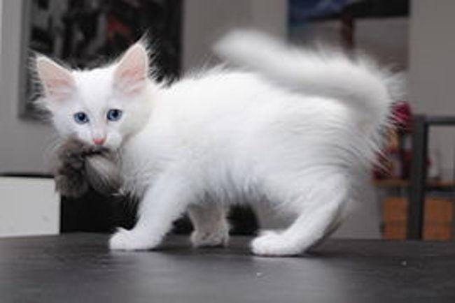 Enkara, chaton Angora turc