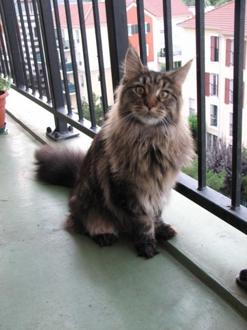 Enza, chat Maine Coon