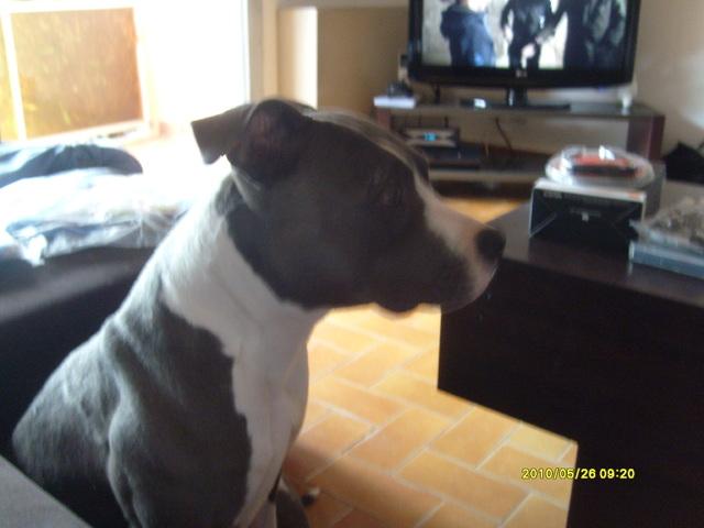 Enza, chien American Staffordshire Terrier