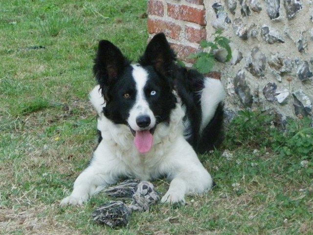 Enzo, chien Border Collie