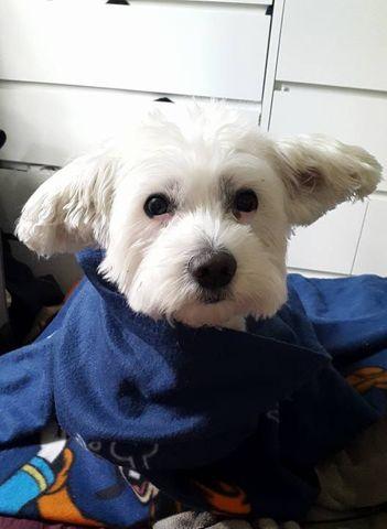 Enzo, chien Bichon maltais