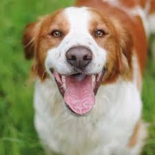 Toz, chien Épagneul breton