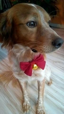 Pagnol, chien Épagneul breton