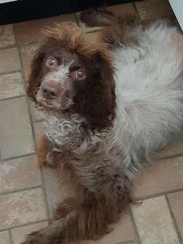 Chipie, chien Épagneul de Pont-Audemer