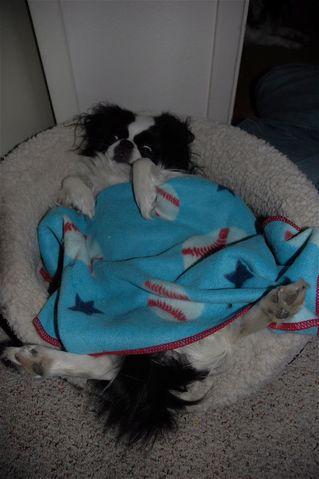 Lilite, chien Épagneul japonais