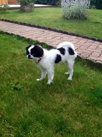 Inna, chien Épagneul japonais