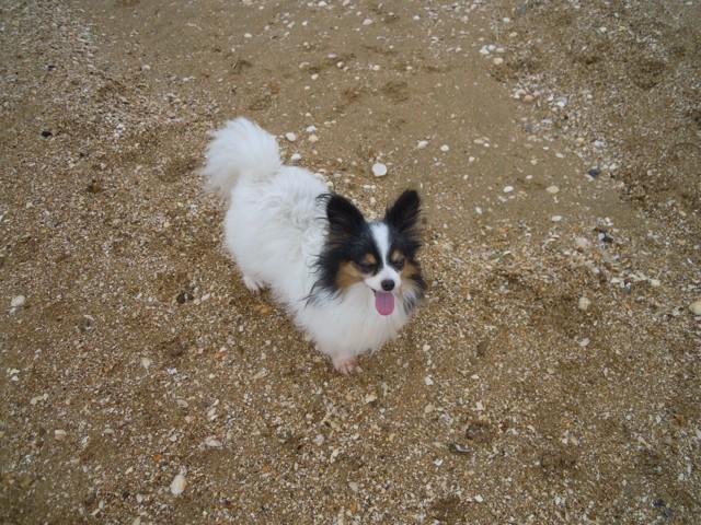 Nana, chien Épagneul nain continental