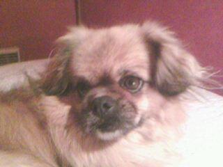 Lili, chien Épagneul tibétain