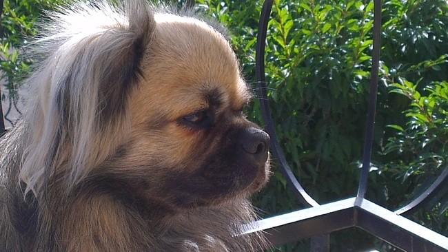 Choesang, chien Épagneul tibétain