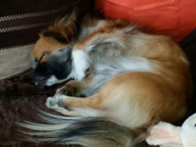 Loustic, chien Épagneul tibétain
