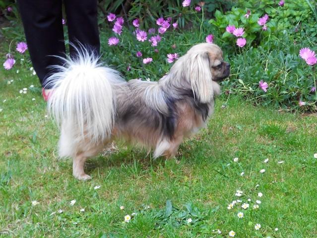 Moky, chien Épagneul tibétain