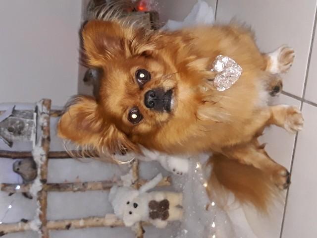 Doggy, chien Épagneul tibétain