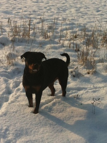 Erika, chien Rottweiler