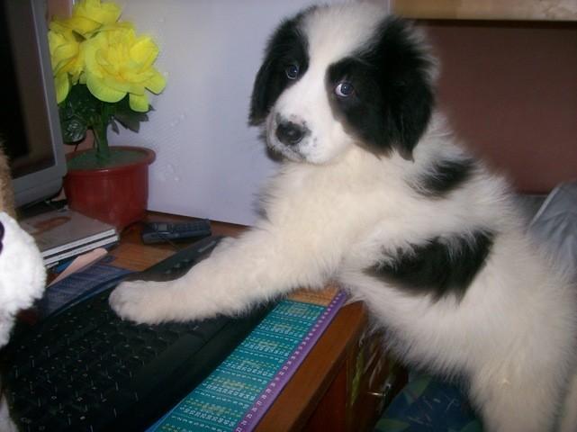 Erkos, chien Chien de montagne des Pyrénées