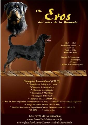 Eros Des Rotts De La Baronnie, chien Rottweiler