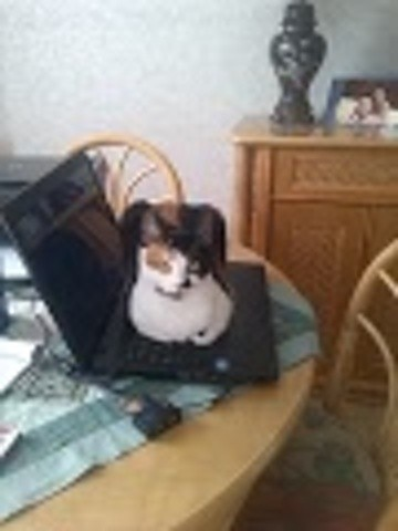 Etincelle, chat American Wirehair
