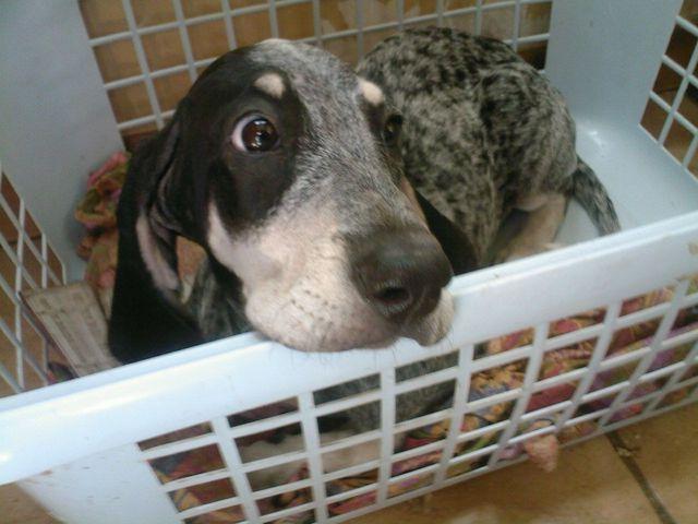 Etoile, chien Bleu de Gascogne