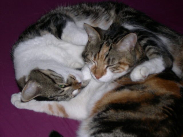 Frimousse, chat Européen