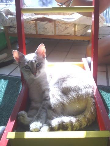 Petite Pluie, chat Européen