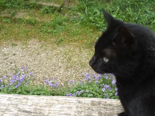 Moumoux, chat Européen