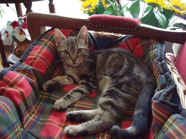 Maya, chaton Européen