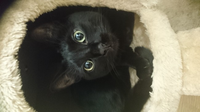 Morphée, chat Européen