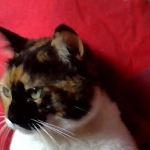 Orphèe Dite Moumoune, chat Européen