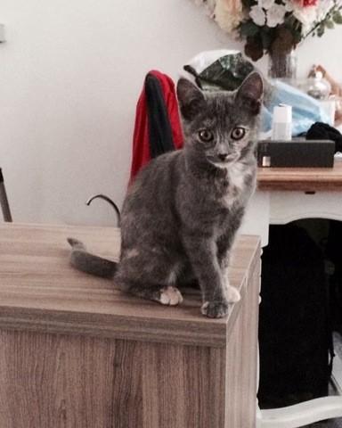 Mimi, chaton Européen