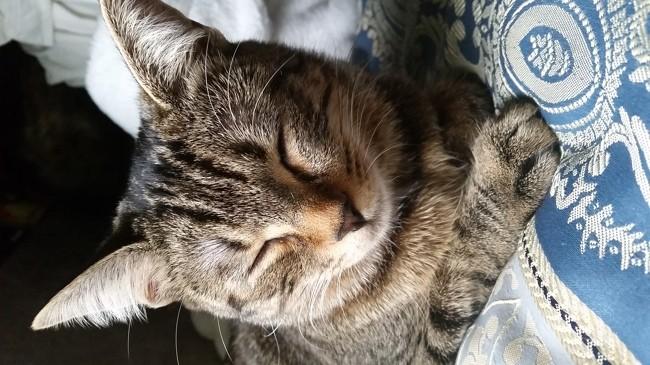 Leika, chat Européen