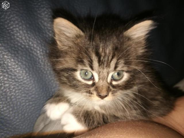 Yuri, chaton Européen