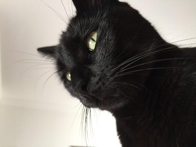 Jade, chat Européen