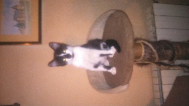 Mickey, chaton Européen
