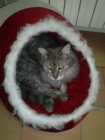 Pompon, chat Européen